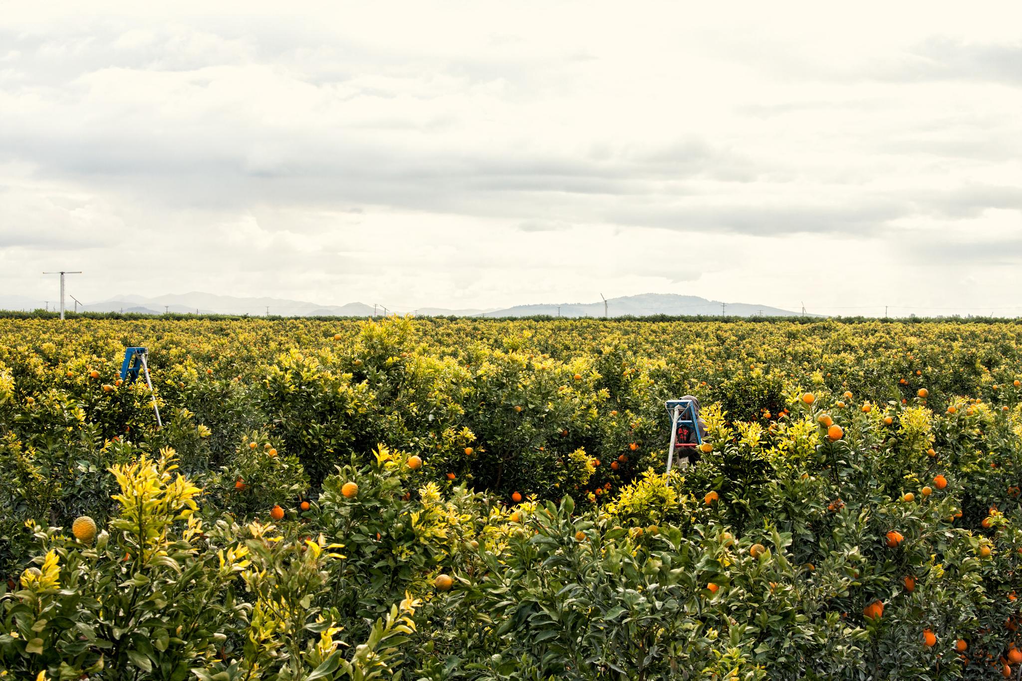 Sumo farm field